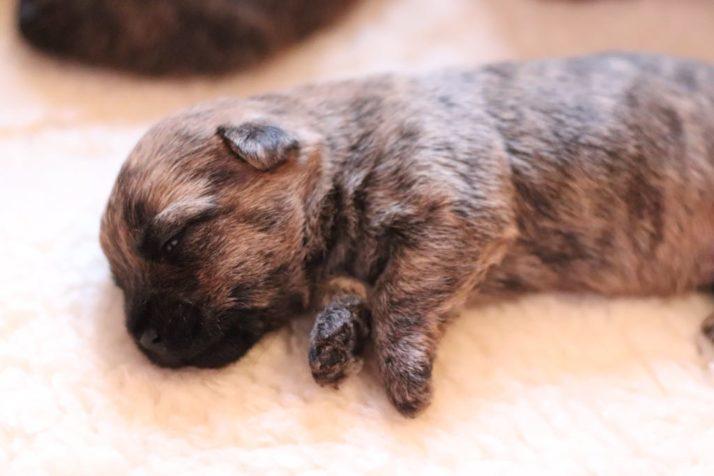 Nog 1 pup beschikbaar